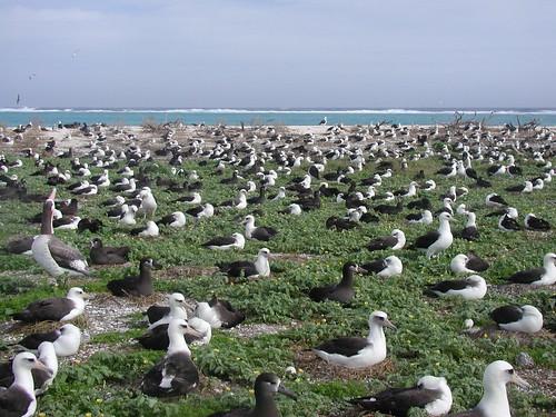 Albatross nesting