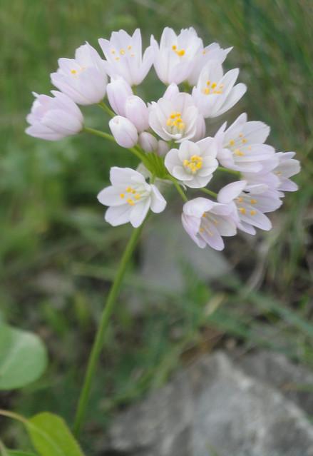 Fiore bianco di primavera, aglio selvatico, Allium neapolitanum, Allium triquetrum
