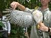 Slaty-backed Forest-Falcon -  Micrastur mirandollei by StoufferLSU