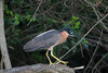 White-backed Night-Heron, Lake Mburo, 7 Mar 2011 by michaelandhelencox