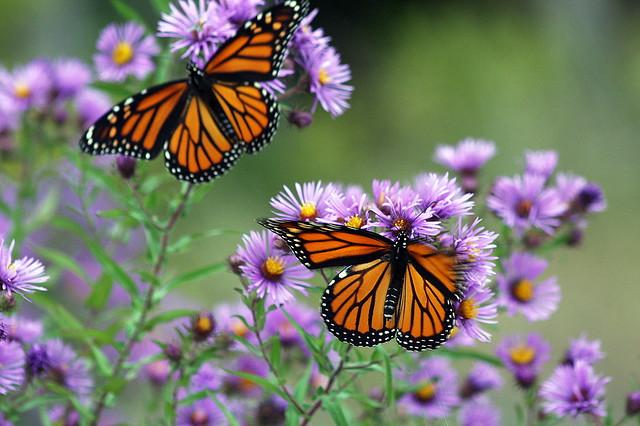 Double Monarch