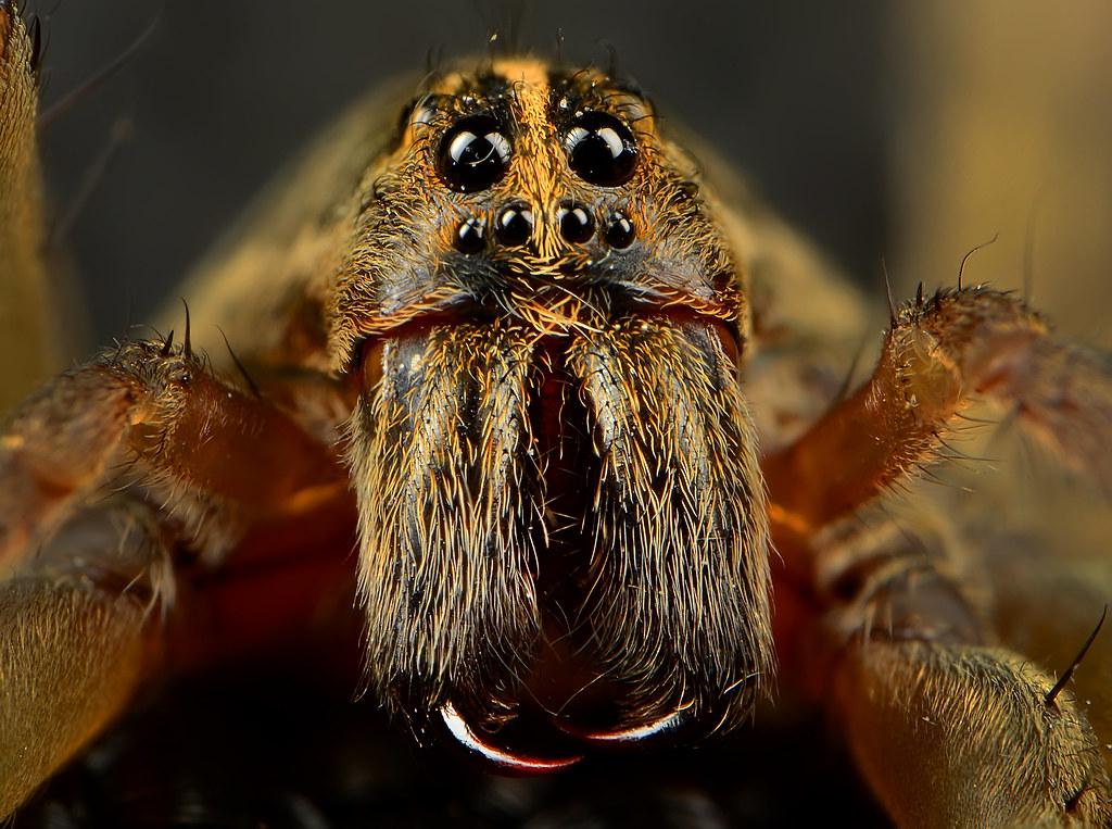 Wolf Spider Fangs 3 | nicksmacro | Flickr