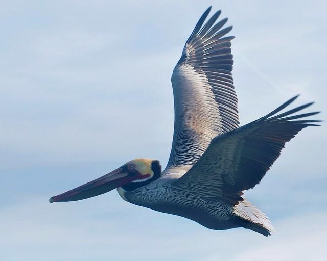 Flying pelican, Morro Bay