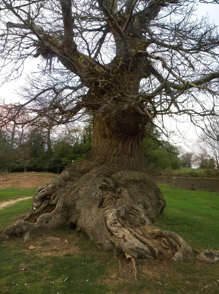 Gnarly old tree, Knole Park. Yalding to Sevenoaks