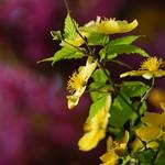 やまぶき (山吹) /Kerria japonica
