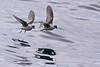Fork-tailed Storm Petrels by Keith Carlson