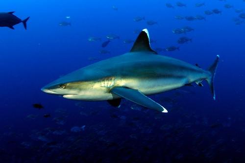 Silvertip Shark | by sharkdefenders