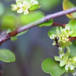 Flowers of Muehlenbeckia complexa (3rd season)