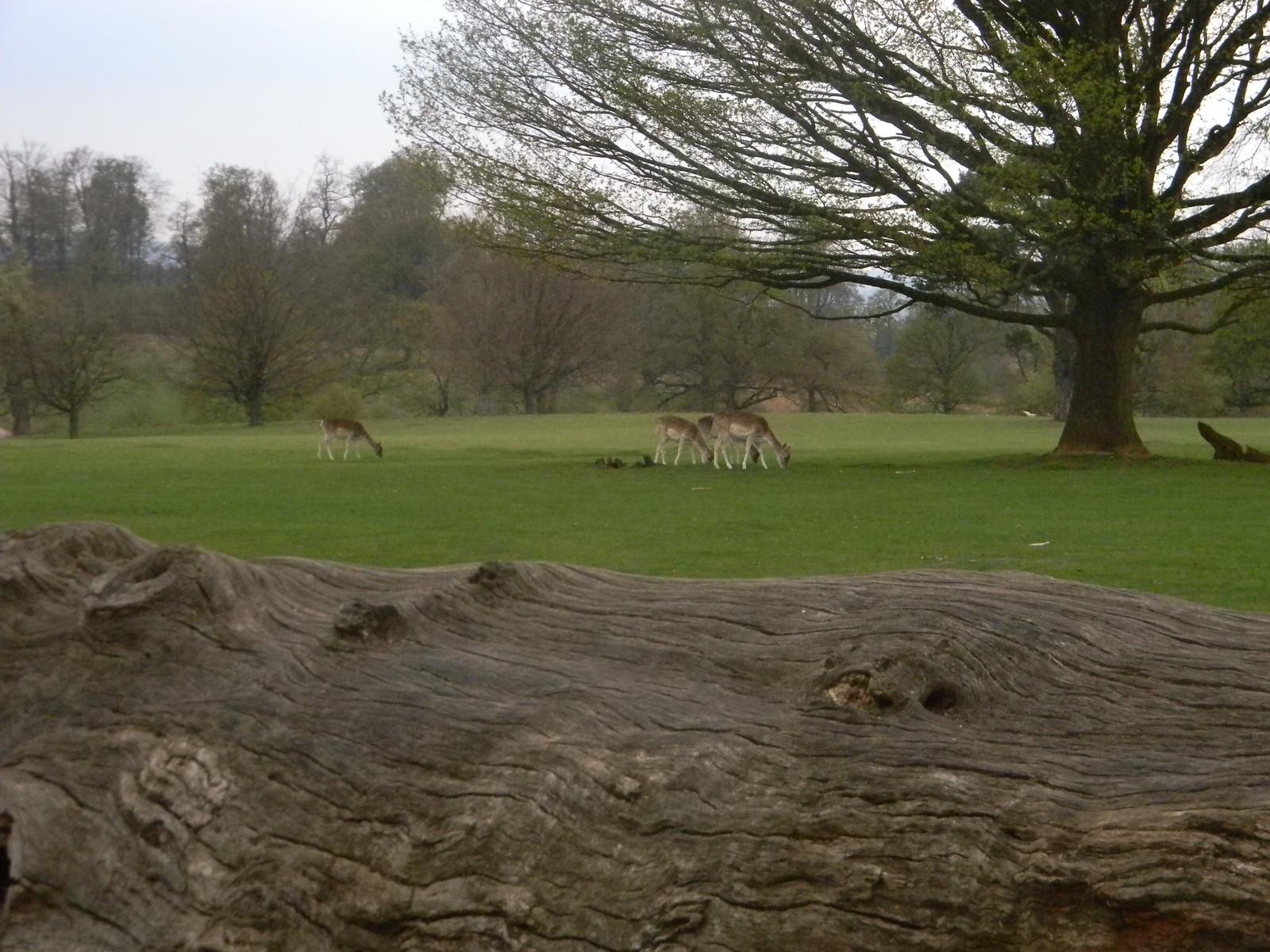 Knole Park deer Yalding to Sevenoaks