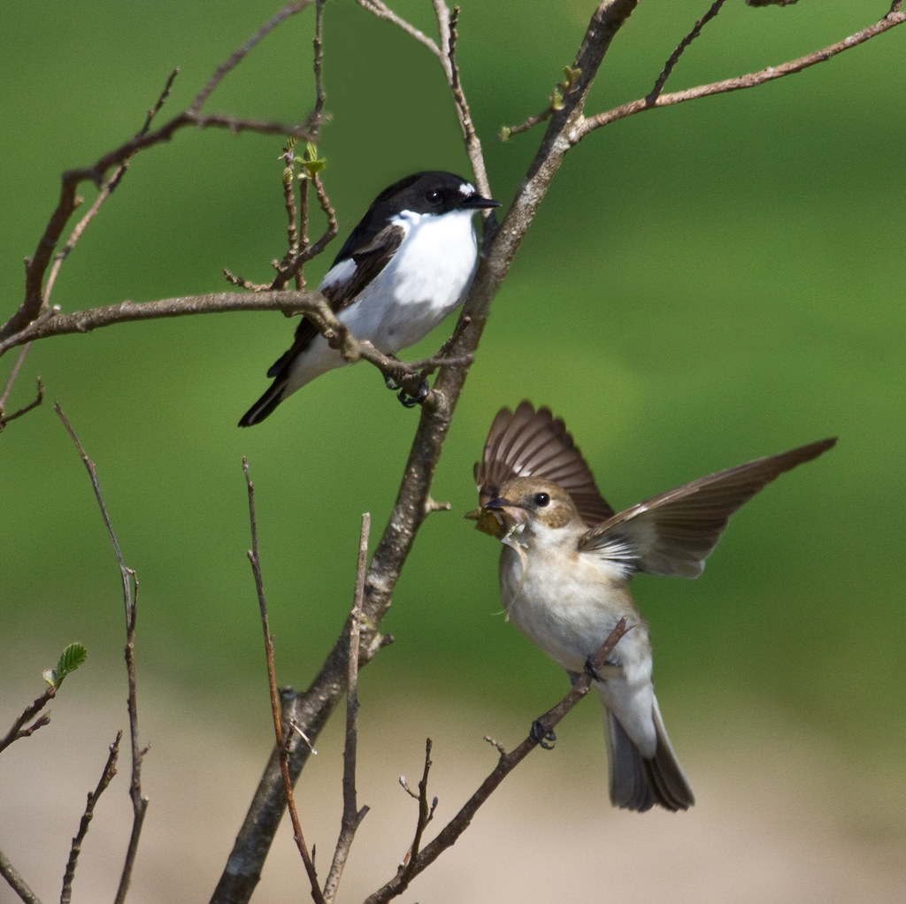 Male and Female Pied Flycathcer - Nest Building
