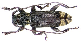 Sybra longula Breuning, 1939