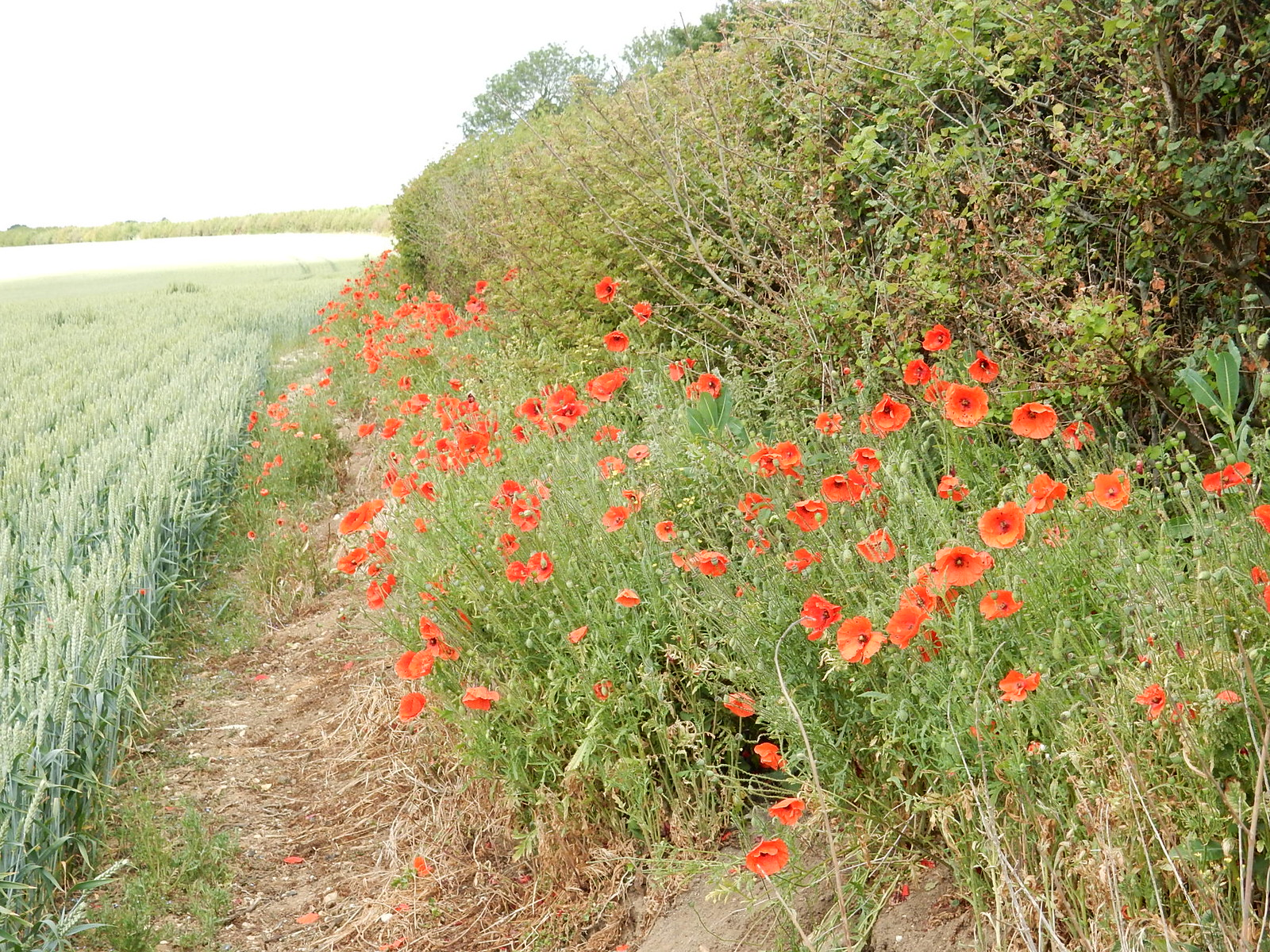 Poppies 1 Hitchin Circular