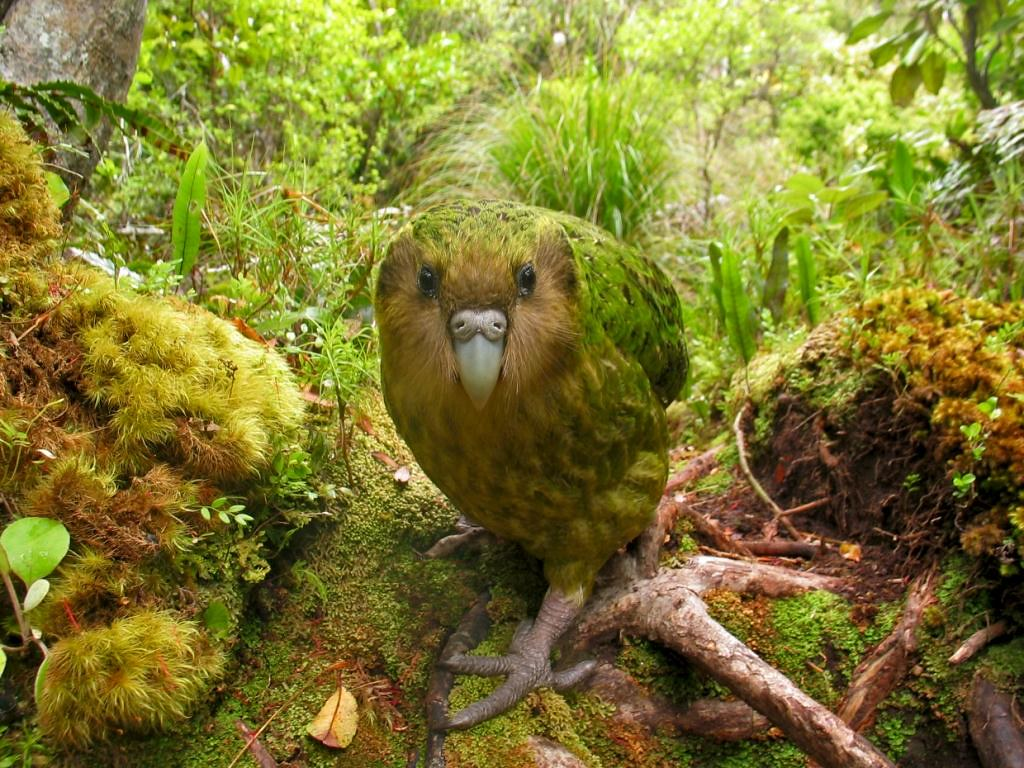 Kakapo Bird Hd Wallpaper Free Download Kakapo Bird Hd Wall Flickr