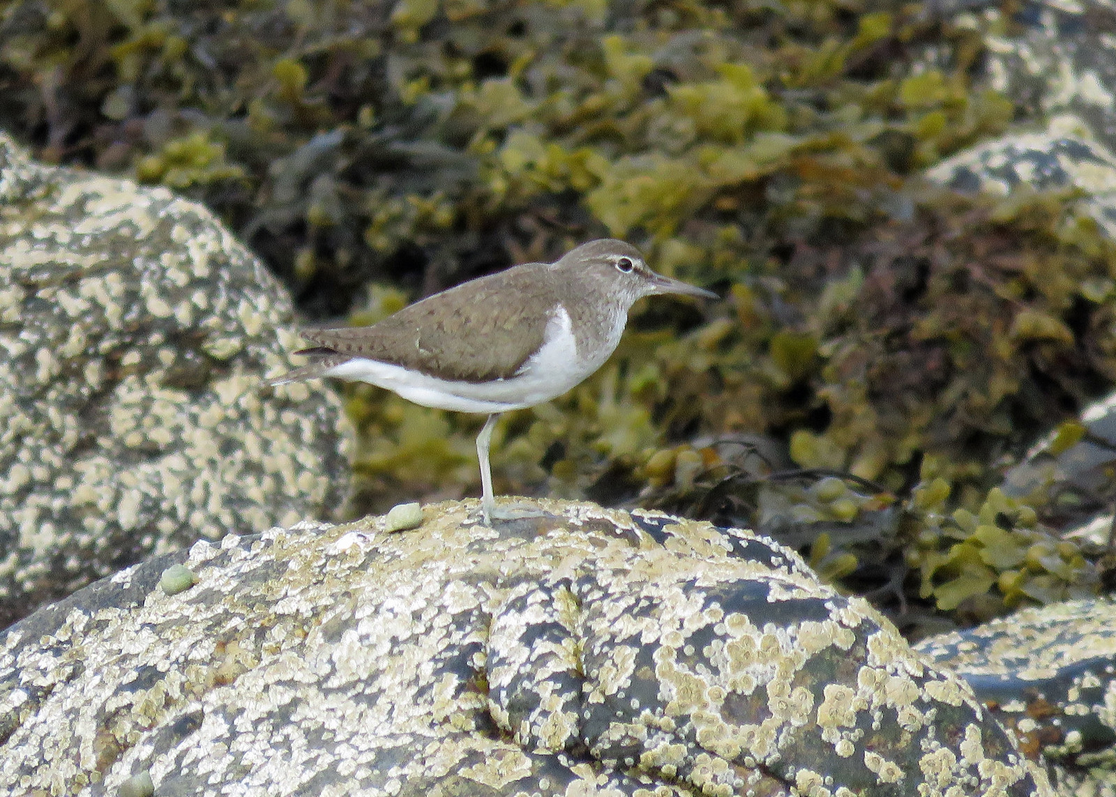 Common Sandpiper - Actitis hypoleucos