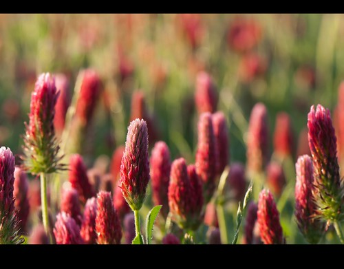 flowers red wildflowers redclover ngm herowinner npgm entertp52011bokehshallowdof