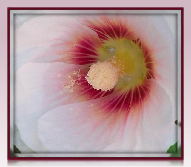 100_6270 Gobi Desert Beauty :: First White Hollyhock of 2011 - Explored