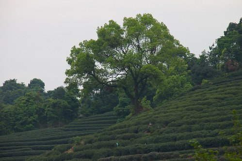 Tea Terraces | by tuchodi