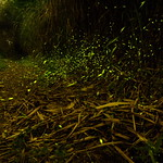 In Taiwan Nantou LUGU . 台灣南投  Dance of firefly 螢火蟲之舞  DSC_9935