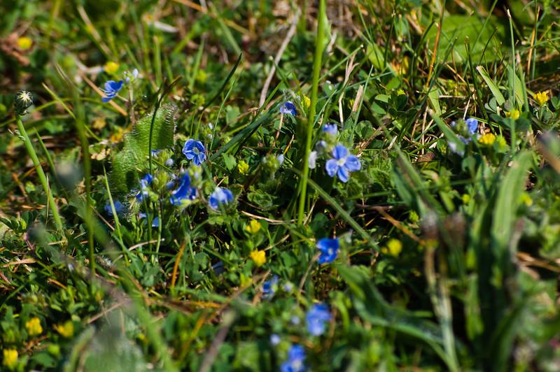 Speedwell flowering