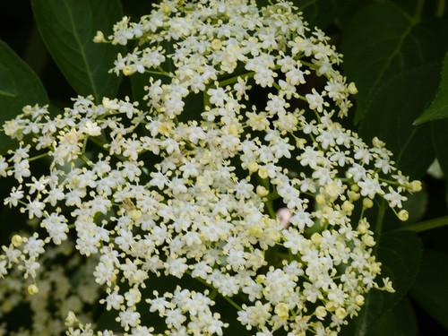 Elder flowering