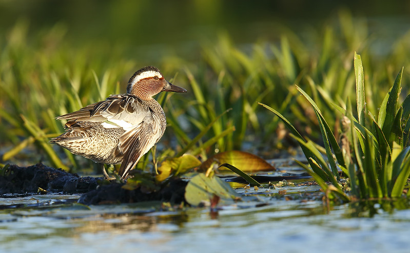 Garganey - injured