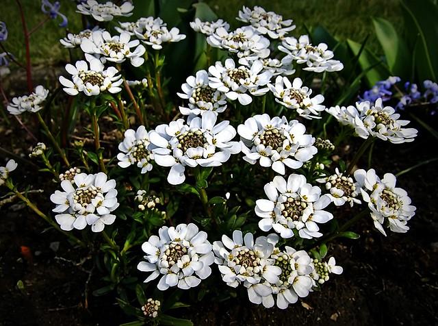 Schleifenblumen