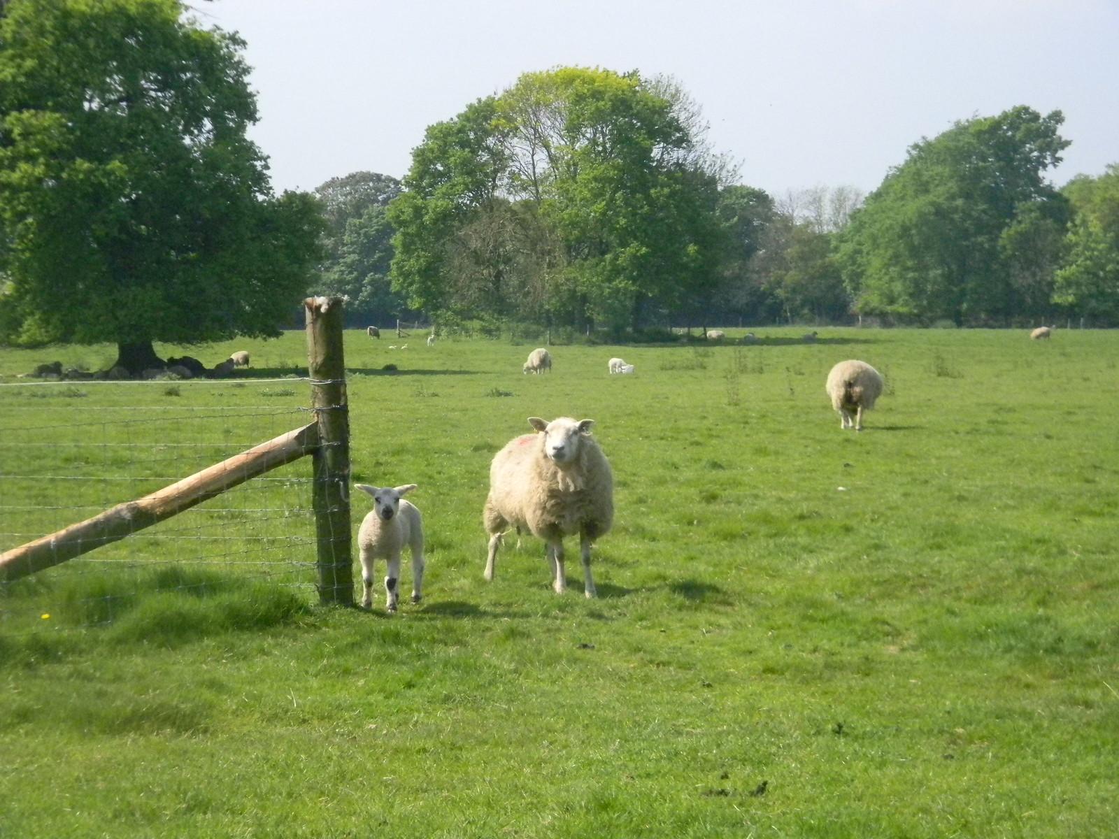 Sheeps Manningtree Circular