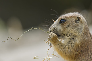 Black-tailed prairie dog | by Patrick Mortko