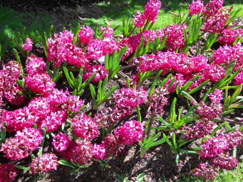 Hyacinthus 4