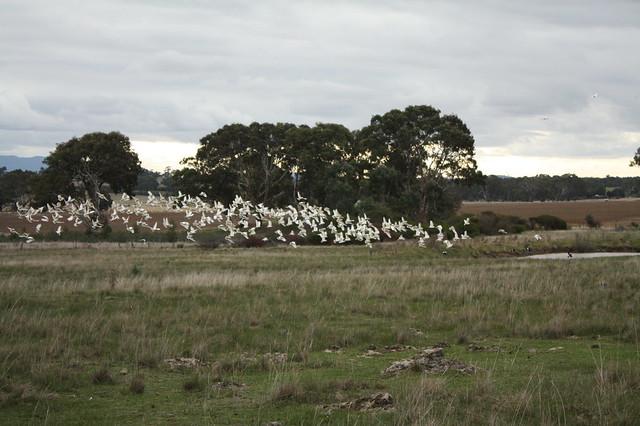 Swarm of White cockatoos