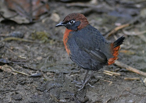 Rufous-breasted Antthrush | by George Cruz // www.sanjorgeecolodges.com