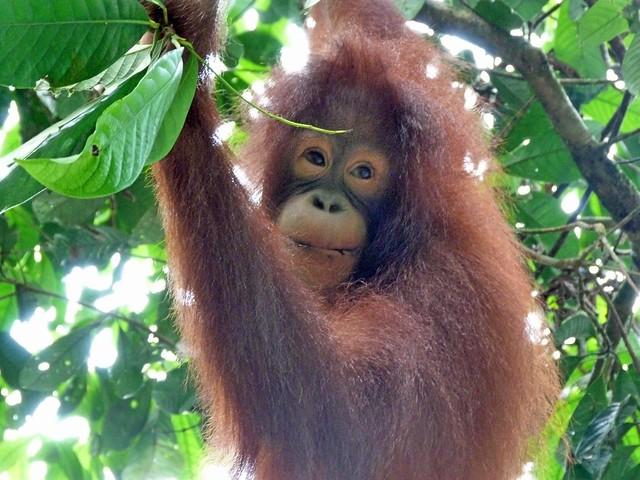 Cría de orangután en Sepilok (Borneo, Malasia)