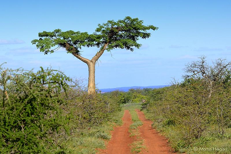 Young Baobab Tree | A young Baobab Tree (Adansonia digitata