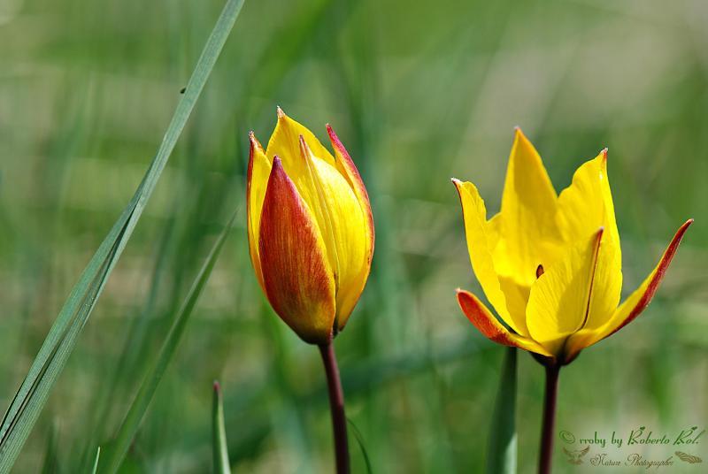Fiori Gialli Montagna.Il Tulipano Di Montagna Tulipa Australis Fiore Sponta Flickr