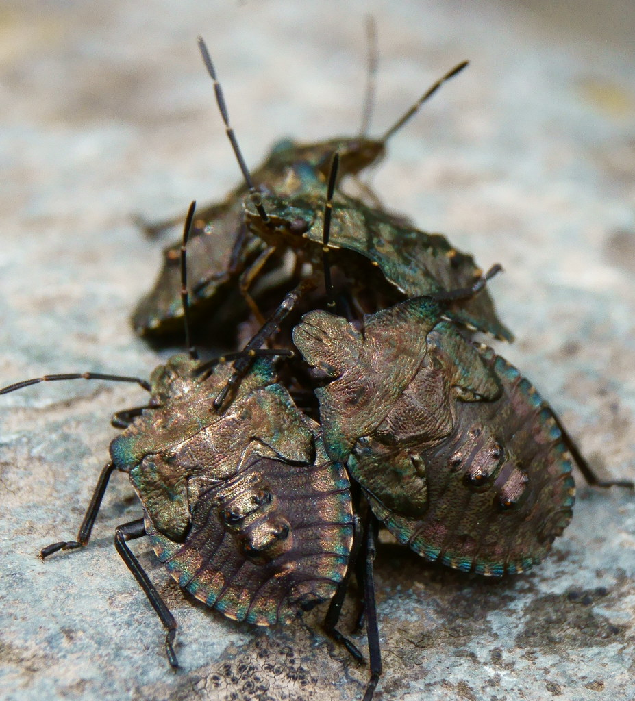 ID please, (shield bug maybe) Stink Bug | These were on a ro