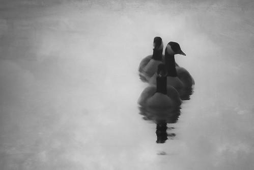 blackandwhite bw river three geese connecticut ct line fowl haddam giantonio kgiantonio kengiantonio