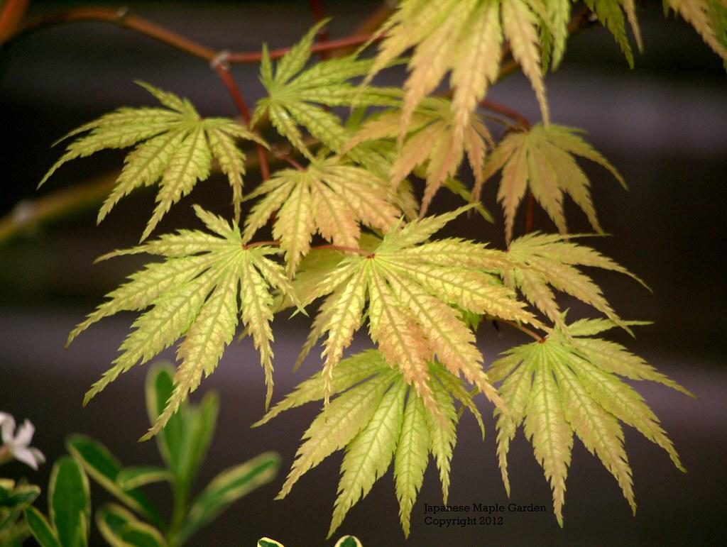 Acer Palmatum Tiger Rose Acer Palmatum Tiger Rose Earl Flickr
