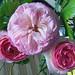 Roses for Ladies by studiodobs