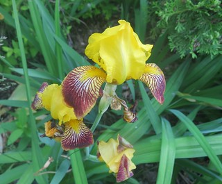 Riverbank Iris transplant