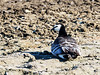 Barnacle Goose (Branta leucopsis) by David Cook Wildlife Photography