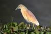 Squacco Heron (Ardeola ralloides) Lake Nakuru, Kenya 2013 by Ricardo Bitran