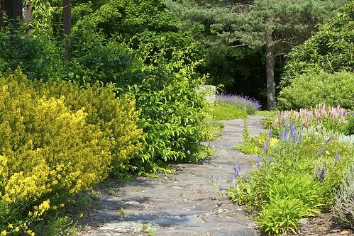 """garden landscape gold path walk royal walkway gardenpath genista stonepathway stonepath ediblelandscape royalgold landscapedesign tinctoria genistatinctoria woadwaxen fieldstonepath tinctoria"""""""