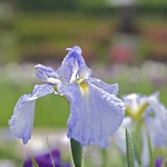 Blue flag - Iris 菖蒲 on a rainy day!