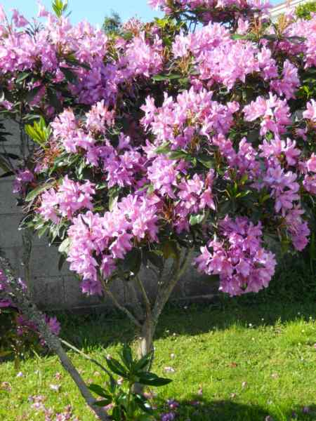Rhododendron x 'Blue Tit' v 1