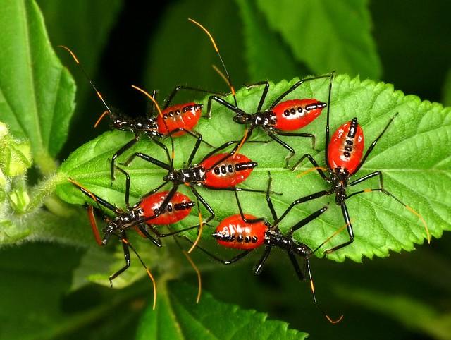 Assassin Bug Nymphs, Wheel Bugs, Arilus gallus