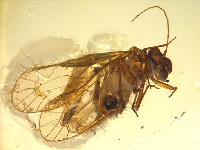 Baltic amber (50 MYO) - Barklouse (Psocoptera)