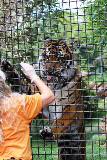 Sumatran tigers - Teddy
