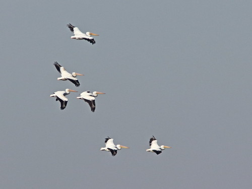 American White Pelicans 04-20161009