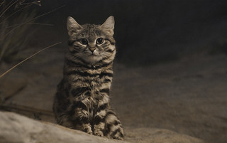 Black-Footed Cat | by jonkriz