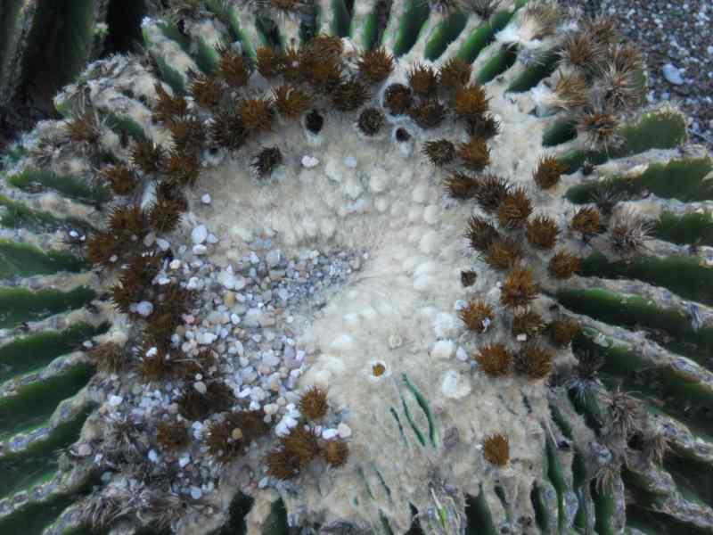 Echinocactus grusonii 'Subinermis' 3